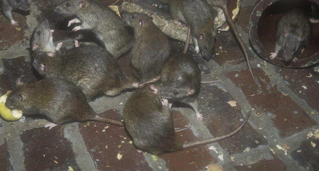 уничтожение крыс в Дзержинске